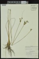 Juncus dudleyi image