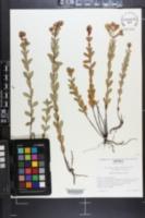 Hypericum crux-andreae image