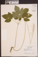 Desmodium nudiflorum image