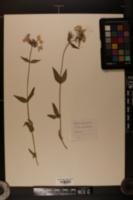 Image of Phlox amoena