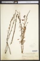 Image of Angadenia berteroi