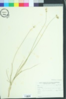 Carex scoparia image