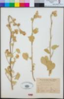 Abutilon palmeri image