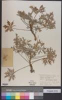 Jatropha cathartica image