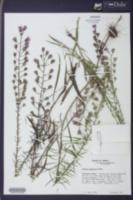 Liatris gracilis image