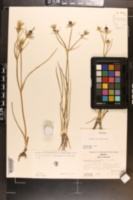Eryngium fluitans image