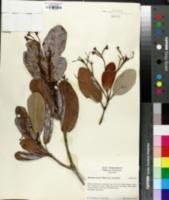Image of Micrandra sprucei