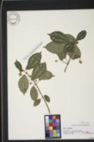 Image of Pilea cadierei