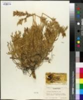 Oxytropis columbiana image