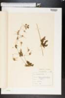 Image of Geranium phaeum