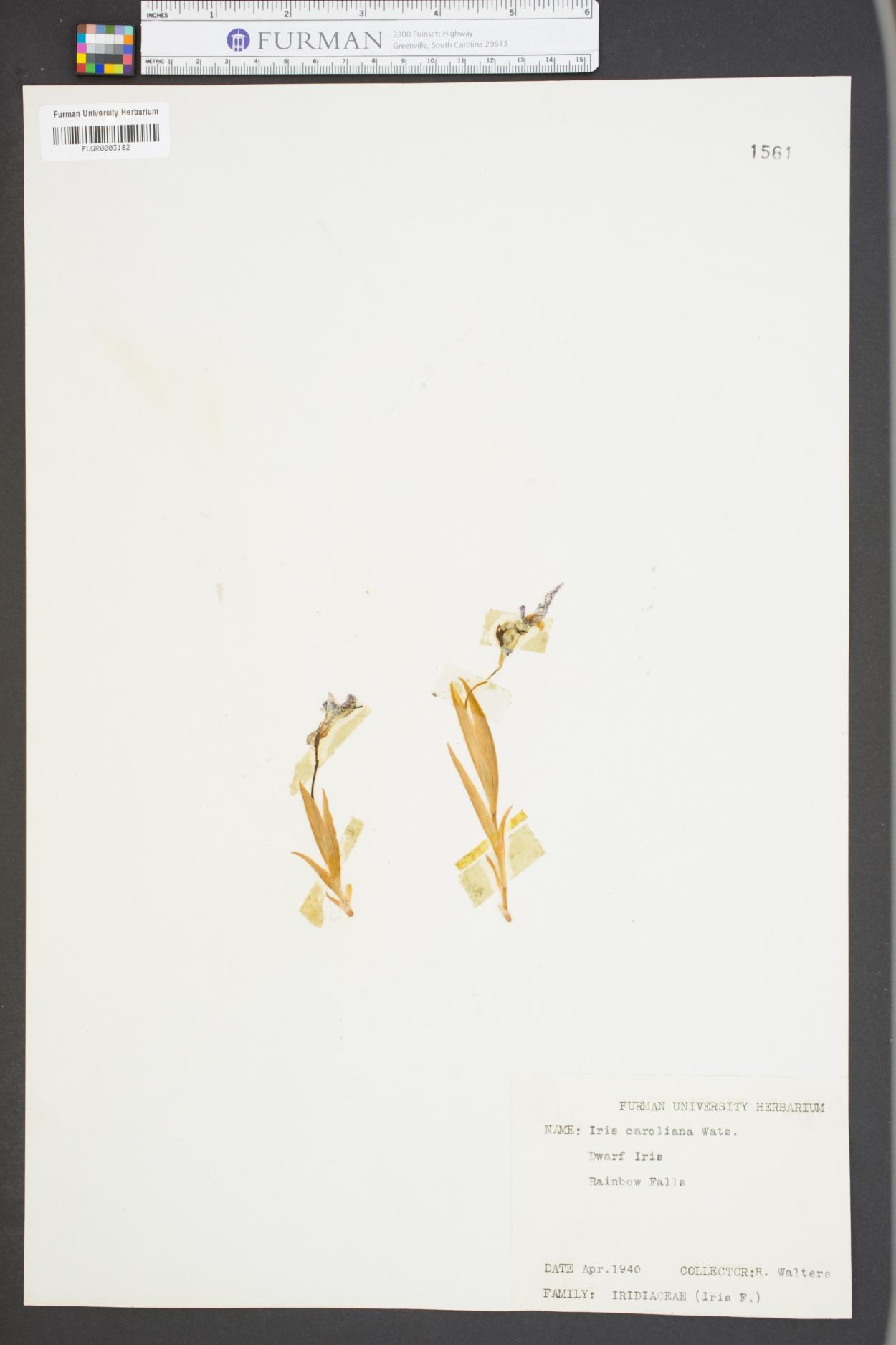 Iris prismatica image