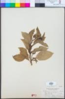 Image of Cestrum aurantiacum
