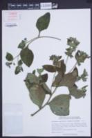 Pentaglottis sempervirens image