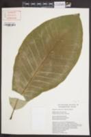 Magnolia officinalis image