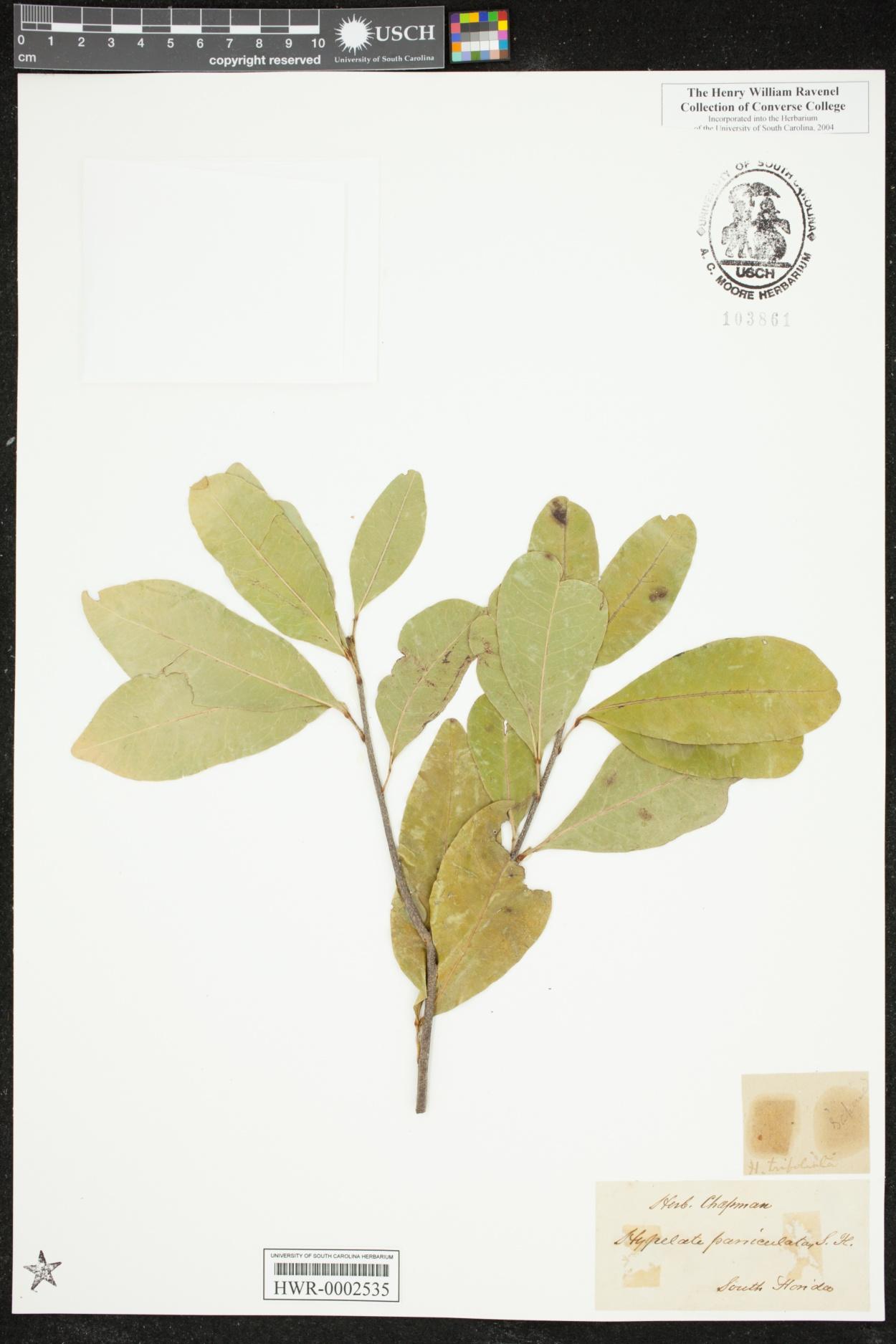Hypelate paniculata