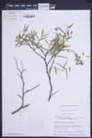 Chamaesyce articulata image