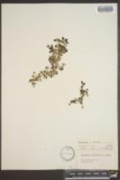 Image of Houstonia rotundifolia