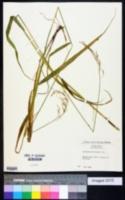 Image of Festuca altissima