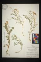 Image of Astragalus australis