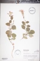 Image of Silene rotundifolia