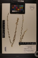 Triodanis perfoliata image