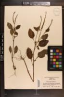 Heliotropium indicum image