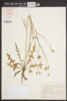 Hypochaeris microcephala image