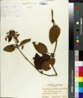 Image of Phyllostegia grandiflora