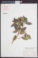 Image of Viburnum davidii