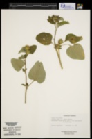 Arctium lappa image
