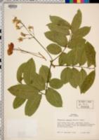 Harpullia arborea image