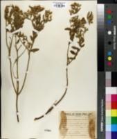 Image of Croton echinulatus
