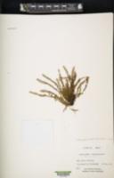 Image of Adenophorus hymenophylloides