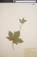 Image of Hibiscus esculentus