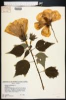 Image of Hibiscus lasiocarpus