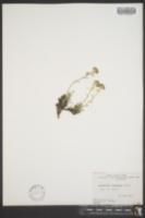 Image of Artemisia glomerata