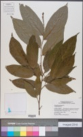 Image of Antidesma montanum