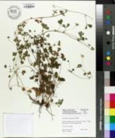 Image of Potentilla neumanniana