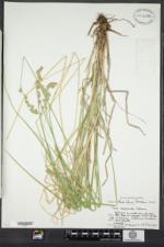 Carex argyrantha image
