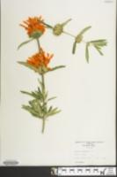 Image of Leonotis leonurus