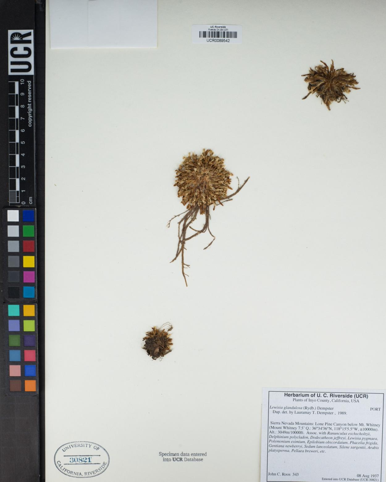 Lewisia glandulosa image