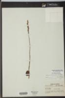Spiranthes brevilabris image
