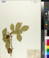 Citropsis schweinfurthii image