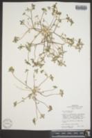 Ipomopsis polycladon image