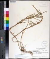 Sarcocornia perennis image