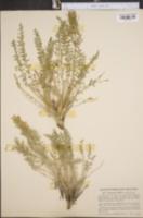 Image of Polemonium mellitum
