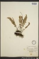 Myriopteris alabamensis image