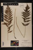 Athyrium asplenioides image