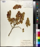 Euphorbia degeneri image