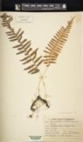 Image of Polypodium microrhizoma